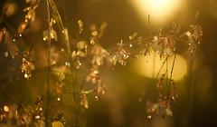 Bokeh-Dots (Karen McQuilkin) Tags: golden bokehdots rainflowers karenmcquilkin