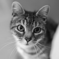 Blurry Cat (yom1) Tags: portrait blackandwhite bw cats blur france eye home monochrome animal animals cat canon fix eos 50mm blackwhite chats blurry eyes kitten chat europe noiretblanc kitty nb oeil domestic animaux vercors flou katz chatte regards xsi noirblanc floue isere villard rhonealpes domestique isre ef50f14 villarddelans 450d catprotrait yuex yom1