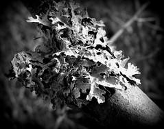 IMG_6777 (Mat_B) Tags: white black macro fall nature photography leaf illinois holga natural state walk volo area lichen bog 2015 foliose