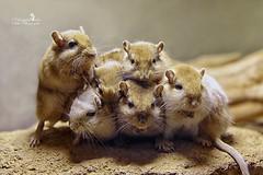 Gruppenfoto (Schneeglöckchen-Photographie) Tags: animal gerbil mouse tier maus rennmaus