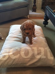 dazzles-girl-scout-loves-her-new-bed_18689383708_o