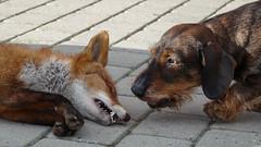 Rv Lajka (Kenneth Gerlach) Tags: outdoor hund dyr gravhund lajka ruhret troelstrup