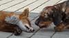 Ræv Lajka (Kenneth Gerlach) Tags: outdoor hund dyr gravhund lajka ruhåret troelstrup