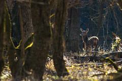 Red deer (Sarah Joy L.) Tags: winter wild italy nature branco female forest mammal nationalpark woods italia wildlife camouflage inverno herd reddeer abruzzo bosco selvatico femmine parconazionaledabruzzolazioemolise cervonobile cervuselpahus