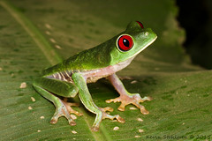 Agalychnis callidryas (Kevin Stohlgren) Tags: macro tree costarica sony sigma frog treefrog osa a77 osapeninsula 70mm redeyed agalychnis callidryas