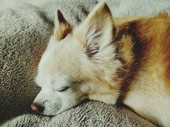 dog chihuahua flickr 動物 bausch eyefi eyeficloud... (Photo: takuhitofujita on Flickr)