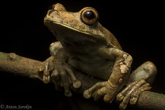 Rainforest Giant (antonsrkn) Tags: amphibian hyla hylidae hylid jungle tropical nocturnal night flash big giant herp herpetology frogging large nature animal wild wildlife rusty tree frog hypsiboas boans cordillera escalera conservation peru arboreal
