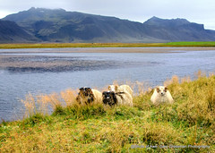 Sheep Country (Gary Grossman) Tags: snfellsnes snfellsnespeninsula merino garygrossmanphotography shotsofawe sheep wool merinowool latesummer september iceland landscape landscapephotography lake beauty rain misty moody magical