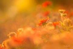 At Sunset (Elizabeth_211) Tags: flowers sunset golden nature garden dof bokeh