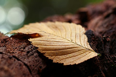 *** (zsolt75) Tags: canon100d 50mm 18 hungary autumn nature leaf outdoor brown forest