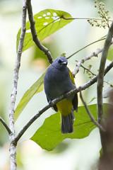 Grey-bellied Bulbul (christopheradler) Tags: malaysia greybellied bulbul pycnonotus cyaniventris