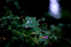 Rain Drops (tez-guitar) Tags: water drops rain rainy green summer leaf leaves pentax pentaxart petal sigma macro