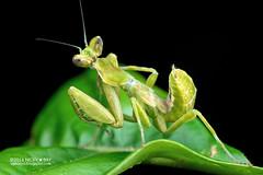 Mantis (Creobroter sp.) - PA120040 (nickybay) Tags: singapore durianloop macro hymenopodidae mantis meantodea creobroter nymph