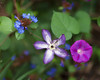 Odd Fellow's..... (zoomclic) Tags: canon closeup colorful 5dmarkii ef85mmf12liiusm flower foliage trio threesome morningglory clematis plumbago purple pink bokeh blue green garden leaves hearts dof dreamy nature zoomclicphotography