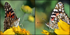 A Pretty Pair-HSS! (A Political Kind Of Day!) Tags: sliderssunday paintedladybutterflies two inthebackyard bugs flying insects colourful orange black white grey flowers newmexico chrysanthemum foraging nectar nikon d750