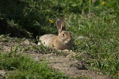 Basking Bunny (Hr3n) Tags: bunny basking trearddurbay trearddur rabbit brown field anglesey animal nature wildlife