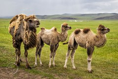 Camels - Animals