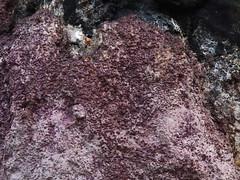 Kottseen (Nectriopsis violacea syn. Nectria violacea). (Imbi Vahuri) Tags: imbivahuri fungi seened ascomycota kottseened hypocreales helekottseenelaadsed bionectriaceae nectriopsis