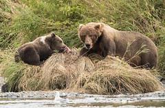Junior Gets It After All (Rick Derevan) Tags: alaska kodiak bear brownbear kodiakbrownbear