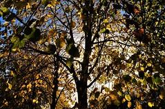 Looking up (dlanor smada) Tags: aylesbury autumn bucks chilterns leaves trees