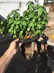 There she grows (RobotSkirts) Tags: basil thanksgiving plantgarden dwc deepwaterculture hydroponic