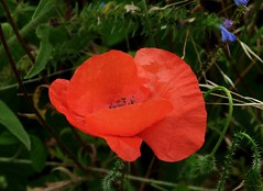 2016-07-25 poppy (42) (april-mo) Tags: poppy coquelicots red wildflower fleur