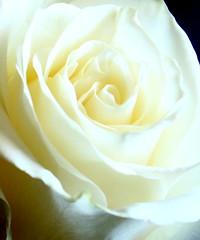 La Puret Spirituelle XIII (time_anchor) Tags: roses whiteroses rosaceaerosa flowers whiteflowers innocence purity spirituality love puret lapuretspirituelle