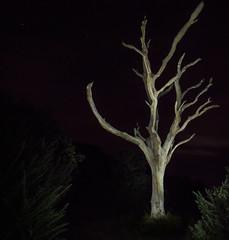 Duver Tree at Night (Jonathan Saull) Tags: lightpainting lightroom olympusomdem1 olympusmzuiko1240mmedf28 isleofwight sthelens nationaltrust britishcountryside britain tree ghostly