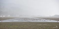 grounded (Claudia Knkel) Tags: oregon goldbeachmunicipalairport seagulls storm runway flock stormy windstorm misty birds tarmac gulls coast