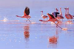 Run for takeoff. (Johnson Barros) Tags: bird colorado ferias flamingo lake nature red redlake travel trip vacations viagem