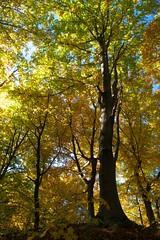 Buk (RysiekLL) Tags: pentax k50 da15ltd buk beech las forest autumn jesie tree outdoor