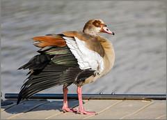 Egyptian Goose (Alopochen aegyptiaca) (Warrener) Tags: egyptian goose alopochenaegyptiaca