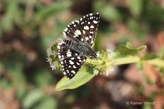 IMG_9148 Spialia spio (Raiwen) Tags: hesperiidae pyrginae spialia spialiaspio insect butterfly africa westafrica guinea moyenneguine ruderalweedvegetation