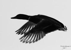 wild duck B&W silhouette (P-B-fotografie) Tags: animal animals bird birds blackwhite canard duck ducks eend flying lake landing nature oiseau river vogel wild wildanimal wildlife