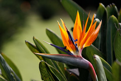 Strelitzia - bird of paradise flower / plant - Pássaro da flor do paraíso (@MASlivak ) Tags: bird paradise flower plant pássaro paraíso flor planta
