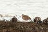Long-billed Curlew (plsmart) Tags: dncb 201648 blackiespit longbilled curlew pier blackie longbilledcurlew shorebird crescentbeach