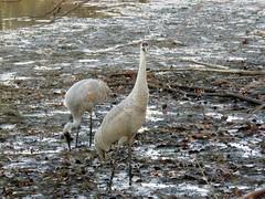 Sandhill Cranes in the mud flats (Photos by the Swamper) Tags: birds cranes sandhillcranes
