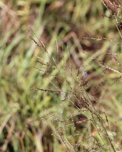 Beaked Panicum (Panicum anceps)