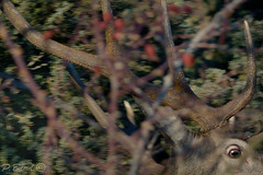 Sauve-qui-peut ! (Patrice Baud) Tags: cervo cervus cerf fuite cerdagne montagne pyrnes deer hirsch nikon d7100 wildlife sauvage animal mammifre herbivore ciervo reddeer nikkor300f4