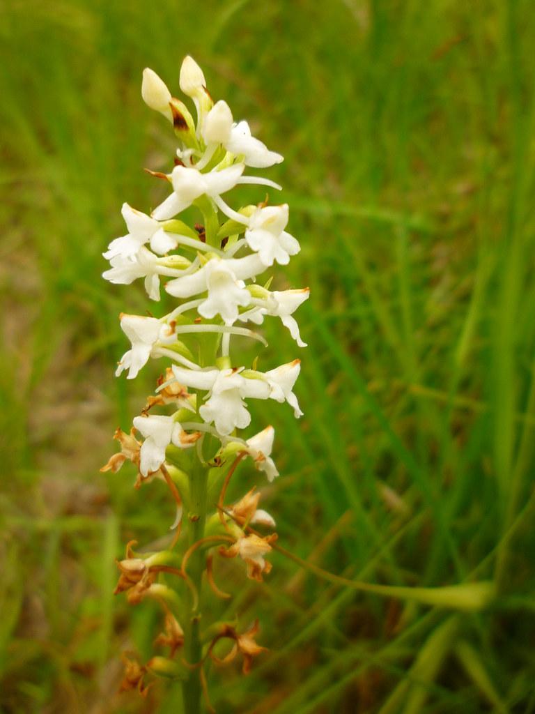 2-Gymnadenia conopsea alba