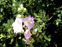Malvoidea spec 6 (heinvanwinkel) Tags: bloemen kastraki