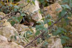 Rocky Wren (jonathan_siberry) Tags: wren troglodytes bird birds ornithology grafham water nature reserve wildlife