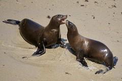 Seals in La Jolla ((Jessica)) Tags: wildlife beach water lajolla sandiego seal sealions california summer sand sunny sealion seals