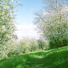Spring path (Saori_) Tags: film rolleiflex czech spring prague praha flower
