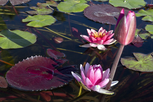 Waterlilly in pond 3