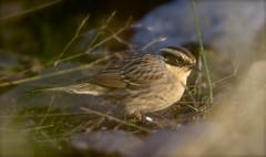 Siberian Accentor (J J McHale) Tags: siberianaccentor scotland nature prunellamontanella