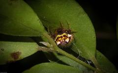 two-spined spider (dustaway) Tags: arthropoda arachnida araneae araneomorphae araneidae poecilopachysaustralasia twohornedspider australianspiders lismore lismorerainforestbotanicgardens northernrivers nsw nature spring australia