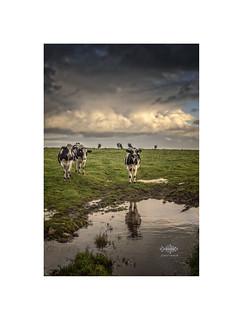 Cows at Black Rock