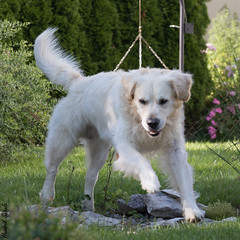 Einstein (HendrikSchulz) Tags: 2016 canon canonef70200f4lusm canoneos7dmarkii einstein goldenretriever haustier haustiere haustierfotografie hendrikschulz hendriktschulz hund hundefotografie juli july retriever tier tiere tierfotografie weissergoldenretriever whitegoldenretriever animalphotography dog dogphotography dogs draussen outside petphotography