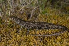Ocellated Skink (R. Francis) Tags: carinascincusocellatus ocellatedskink greatlake tasmania ryanfrancis ryanfrancisphotography meander meandervalleytasmanian highlandsgreater western tiers
